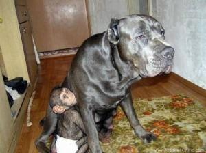 سگ خانگی که از یک میمون نگهداری میکند.