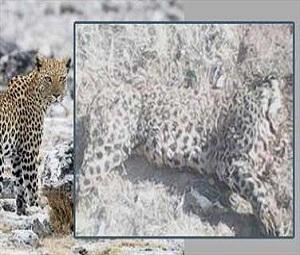 یک پلنگ ایرانی در روستای امیرانلو شیروان کشته شد.