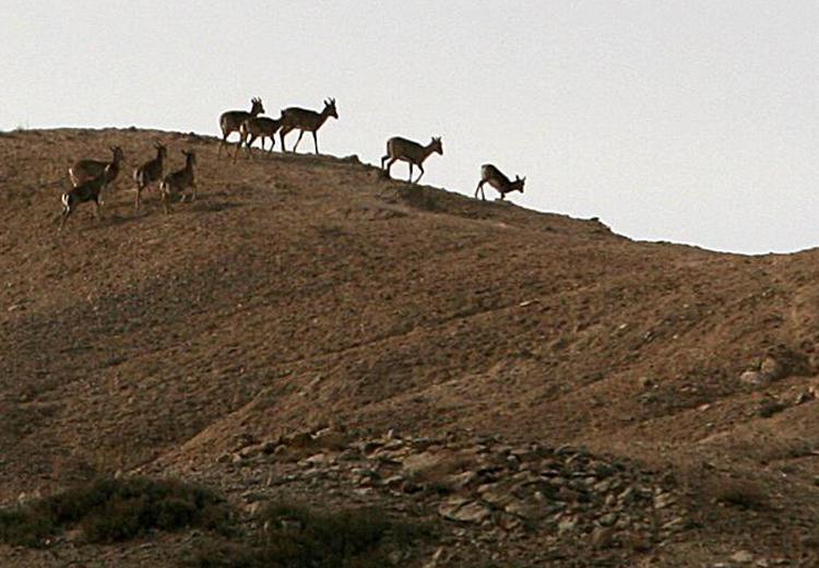 ارک ملی کویر سمنان؛ نمایشگاهی طبیعی از وحوش کمیاب بیابانی