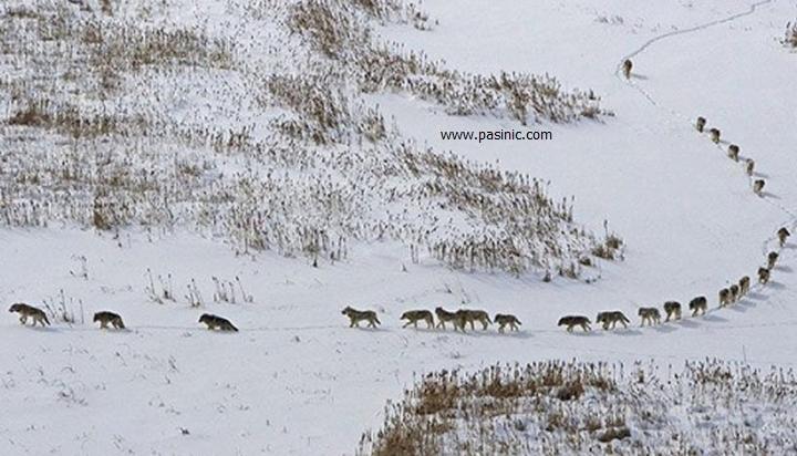 گله گرگها و نحوه راه رفتن آنها