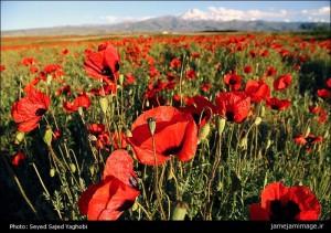 دشت شقایق ها در منطقه سبلان استان اردبیلدشت شقایق ها در منطقه سبلان استان اردبیل