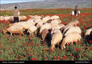دشت شقایق ها در منطقه سبلان استان اردبیل