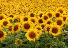 خواب راحت با گل آفتاب گردان گياهان آپارتماني