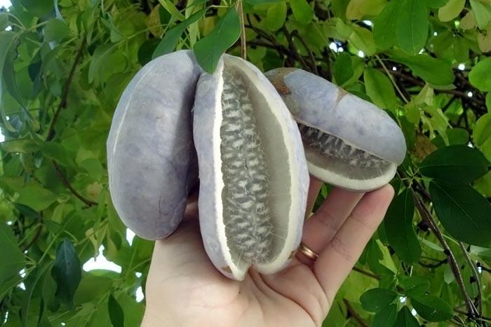 آشنایی با میوه های عجیب و نادر