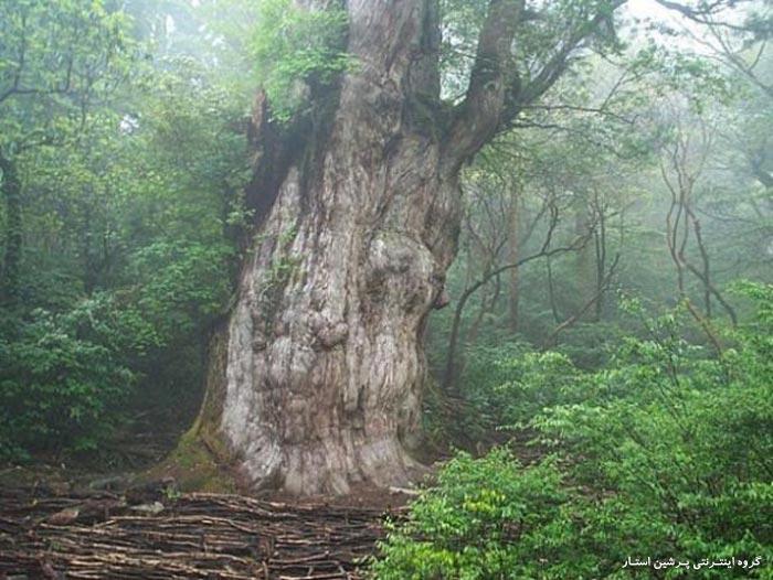 ده درخت ازقدیمی ترین درختهای دنیا
