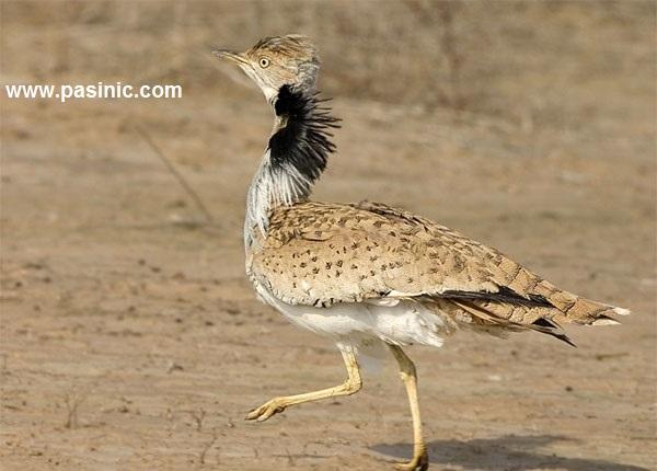 هوبره پرنده ای با شکوه ونادر در کویر