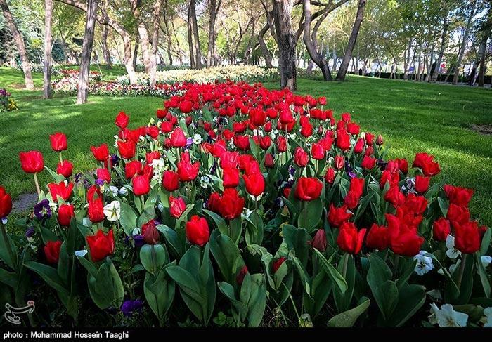 جشنواره گل لاله در پارک ملت مشهد