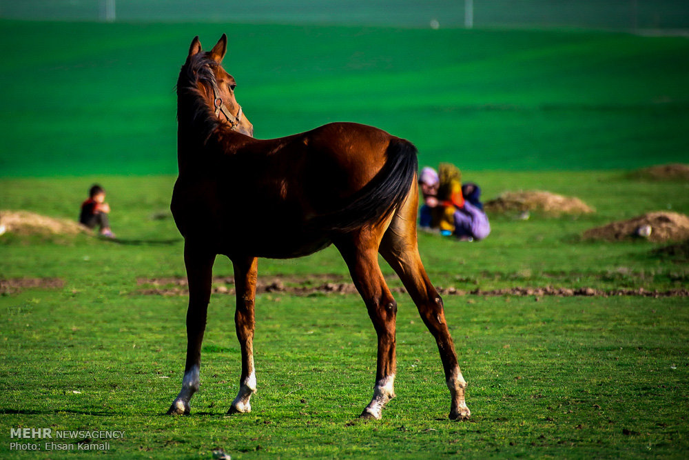 عکس اسب های زیبای ترکمن