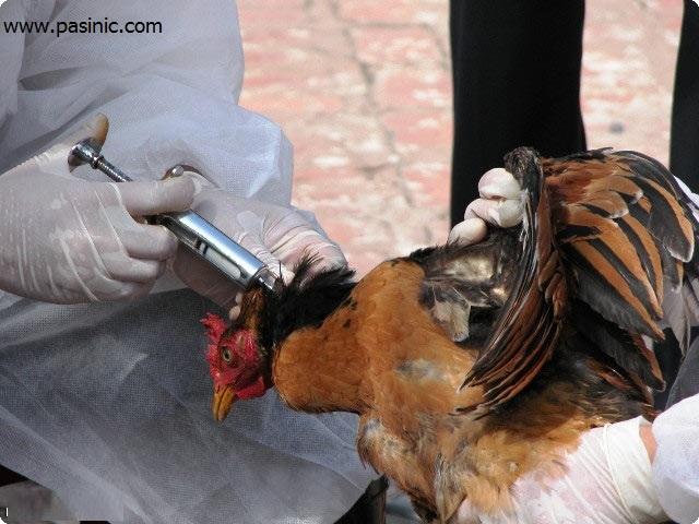 همه چیز درباره شیوع آنفولانزای مرغی در تهران