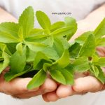 گیاه استویا وکاربرد آن در بیماری های مختلف