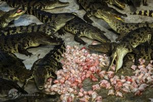 تصاویر جالب و دیدنی از مزرعه تمساح تایلند