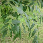 گیاه زبان گنجشک و کاربرد های درمانی آن
