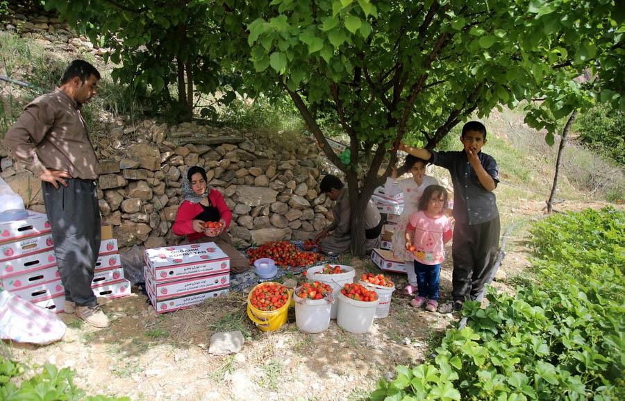 تصاویری زیبا ازبرداشت توت فرنگی درکردستان