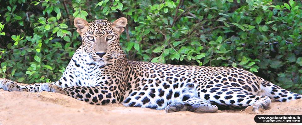 پارک ملی یالا سریلانکا بهترین مکان برای تماشای حیات وحش